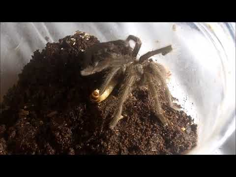 Tarantula Feeding Video 143  Part 3 - Escapees!
