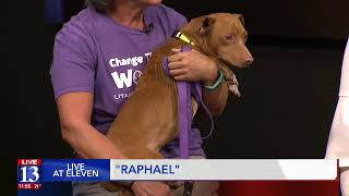 RAPHAEL - Fox 13 Best Friend from the Humane Society of Utah