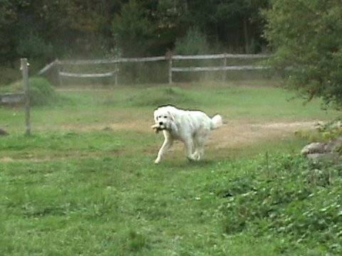 Just A Silly Video Of Jesse The Maremma Great Pyrenees Sheepdog
