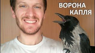 Ворона Капля иногда сидит на плече