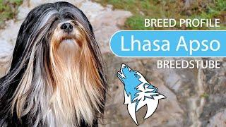 Lhasa Apso Breed, Temperament & Training