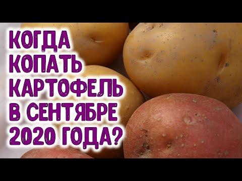 КОГДА КОПАТЬ КАРТОФЕЛЬ В СЕНТЯБРЕ 2020 ГОДА? Агрогороскоп благоприятных дней сбора урожая картошки | картофеля | картофель | горяченко | картошку | картошка | большой | урожай | копать | раиса | когда