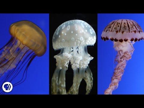 Are Jellyfish the Weirdest Animals In the Ocean?