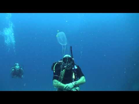 Box Jellyfish (Chironex ) Diving Thailand Sail Rock Underwater Video