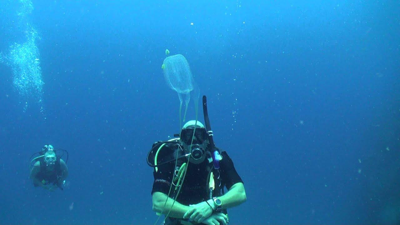 Box jellyfish (Chironex ) Diving Thailand Sail Rock Underwater video