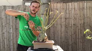Desert Rose (Adenium) Bonsai Makeover