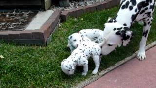 Summit Dalmatians/mazie X Bond Puppies, 4 Weeks, Monroe, Taylor, And Temple 001.mts