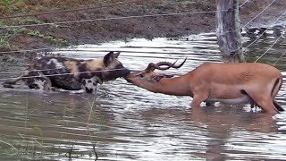 Wild Dogs, Lions and Cheetahs Hunting