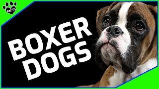 Boxer Dog  You're Going to Be Knocked Out