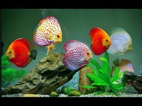 рыбки фото дискус