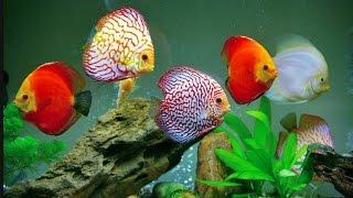#Дискус в 250 л #аквариуме. Diskus im 250l Aquarium .Discus Planted Tank.Содержание, кормление.