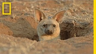 Meet the Aardwolf: A Cute Animal You Never Knew Existed | National Geographic It's neither aardvark nor wolf, so what is an aardwolf? ➡ Subscribe: http://bit.ly/NatGeoSubscribe  About National Geographic: National Geographic is the world's premium destination for science, exploration, and adventure. Through their world-class scientists, photographers, journalists, and filmmakers, Nat Geo gets you closer to the stories that matter and past the edge of what's possible.  Get More National Geographic: Official Site: http://bit.ly/NatGeoOfficialSite Facebook: http://bit.ly/FBNatGeo Twitter: http://bit.ly/NatGeoTwitter Instagram: http://bit.ly/NatGeoInsta  Meet the Aardwolf: A Cute Animal You Never Knew Existed | National Geographic  https://youtu.be/a4J6NsM2Cco  National Geographic https://www.youtube.com/natgeo  Watch: Mountain Goats Aren't Actually Goats https://www.youtube.com/watch?v=0vGBSUjQDzo