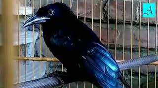 Langsung nyaut!!! Masteran Burung Srigunting super efektif bikin Burung Srigunting gacor dan ngeplon