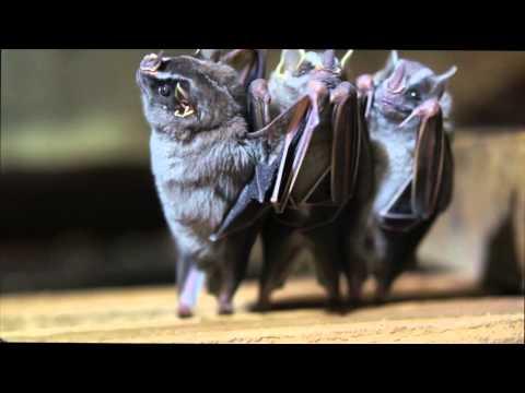 Dancing Bats Broadcast legal