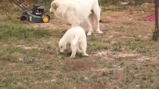 Пиренейская горная собака, ЯКОГОР ШОМОНТЕЛЬ / YAKOGOR CHAUMONTEL