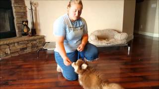 Pomsky Training - Sit, Down, Stay