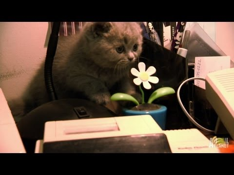 British Shorthairs Wreak Havoc | Too Cute!