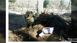 Собака все похороны простояла у гроба хозяина. Затем она прилегла у могилы. ФОТО
