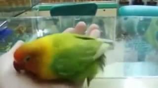 Попугай видел секс