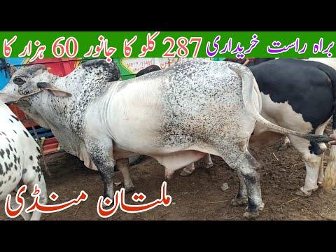 Multan mandi LIVE PURCHASING live weight Kanday per khareedari sasty janwar Mosam ki waja mal shart