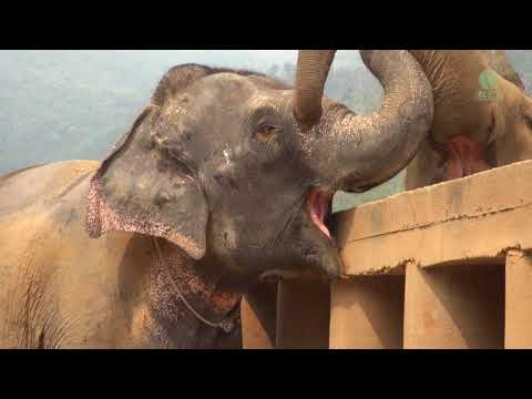 Newly rescued elephant was greeted and welcomed from the herd