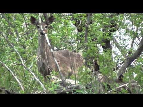 White-tailed Deer Behavior