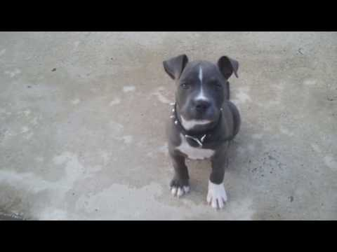 Awesome Blue Nose Pitbull Puppy Workout ft. Diamond Girl