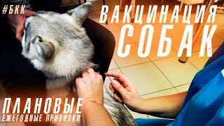#БКК Вакцинация собак. Плановые ежегодные прививки. Хаски Капелла