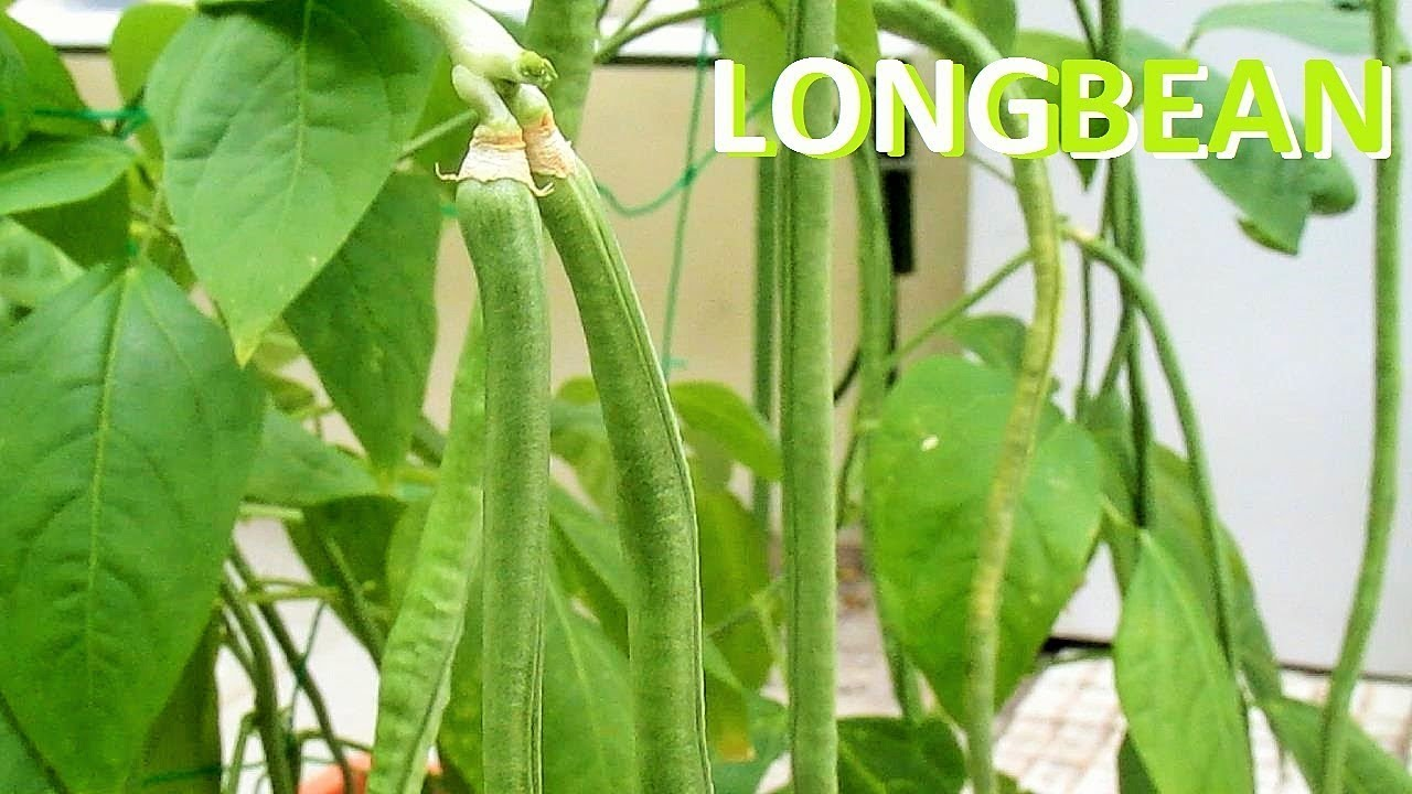 Growing Snake Bean From Seeds Youtube