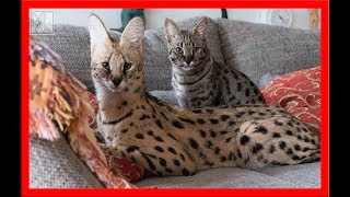 Serval cuddles with his girlfriends (two F1 Savannah cats)