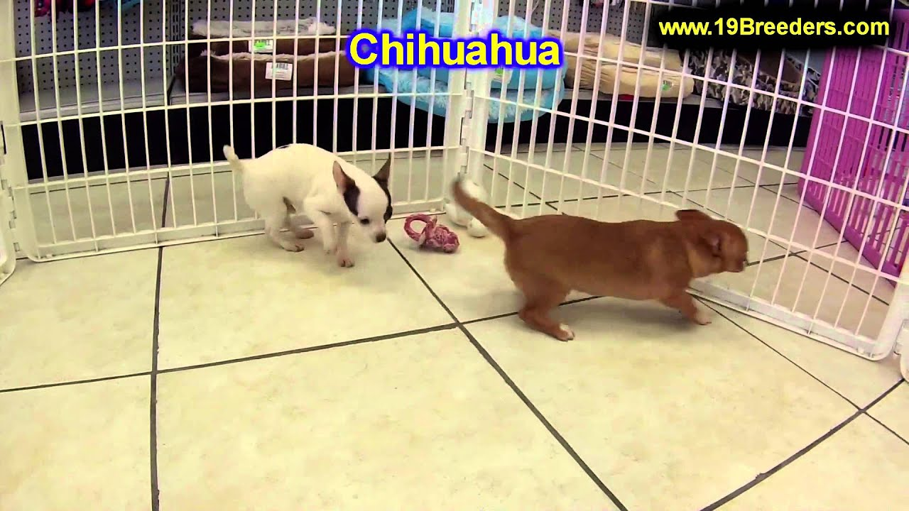 Chihuahua Puppies For Sale In Duluth Minnesota County MN
