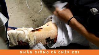 Cách nhân giống cá chép Koi Nhật Bản thành công 100% | How to Breeding KOI Carp