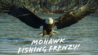 Mohawk River Bald Eagle Fishing Frenzy!
