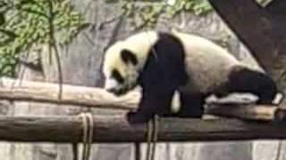Panda-mania! part 1