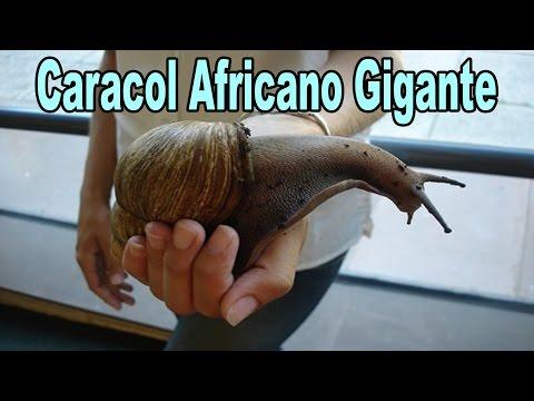 Caracol Africano gigante   Achatina fulica