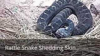 Rattlesnake Sound: Snake Hissing, Rattlesnake Shedding Skin