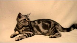 Питомник британских кошек British Magnificent Cat - Сальвадор и Сильвестор  3,5 месяца