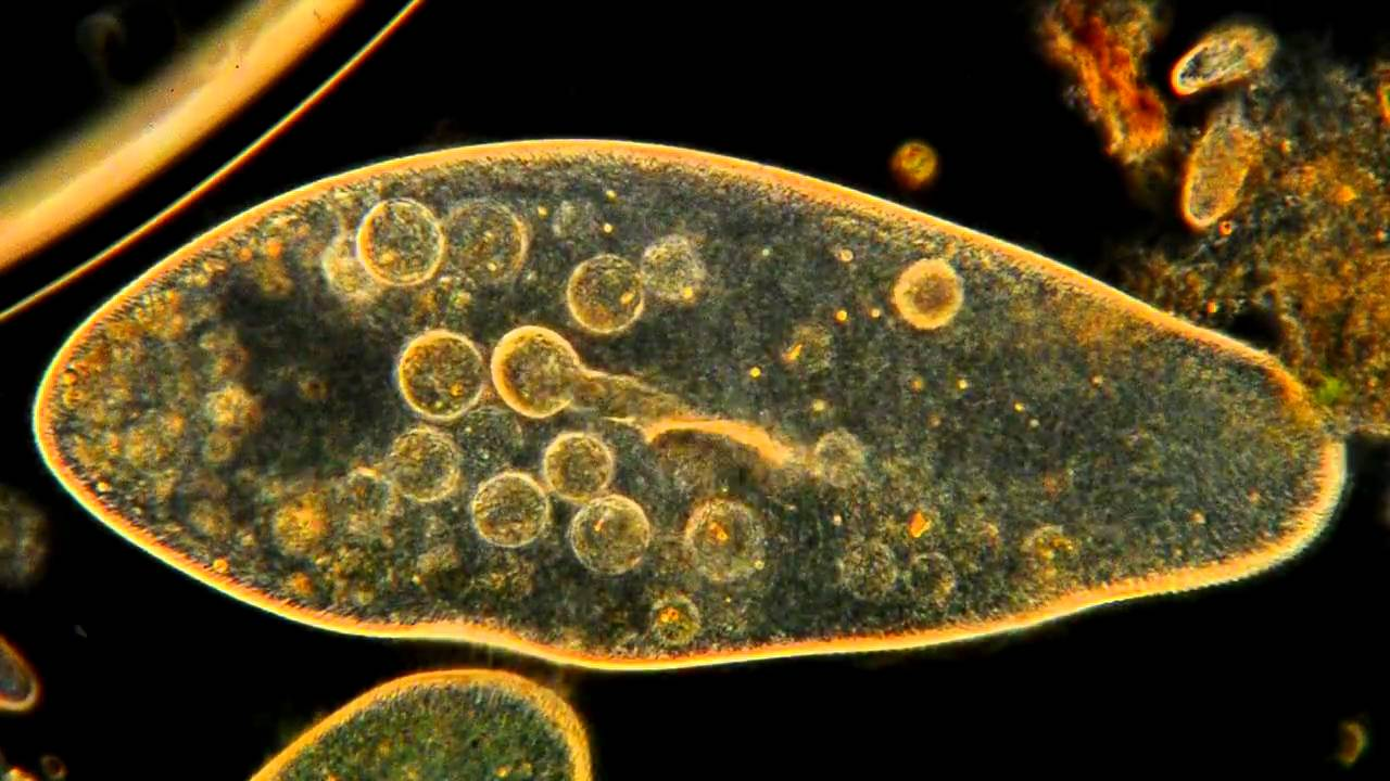 Amazing Microscopic Hd Video Paramecium Feeding Youtube
