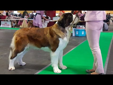 Сенбернар (ч.1/3), выставка собак ZooExpo 2016. Saint Bernard, Baltic Winner 2016 FCI CACIB Dog Show