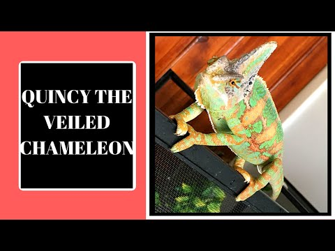 BEFORE YOU BUY A VEILED CHAMELEON WATCH THIS!