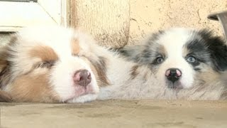 Australian Shepherd Puppies Sleep In A Hole, Drink Water