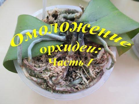 Омоложение орхидеи фаленопсис Brother Sara Gold/16.05.17