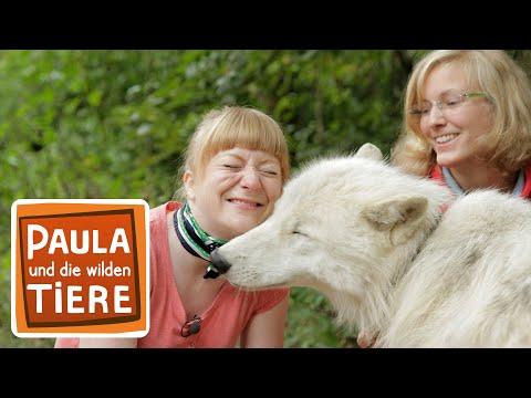 Wie Böse Ist Der Wolf? (Doku)   Reportage Für Kinder   Paula Und Die Wilden Tiere