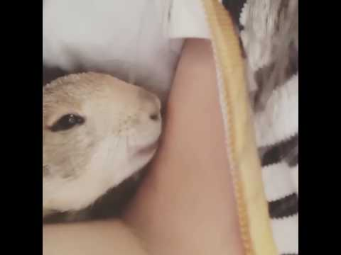 Prairie dog baby trying to drink milk from arm