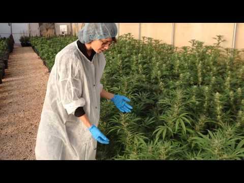 Israel Reveals Specialized Medical Marijuana Strains
