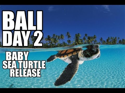 Bali Turtle Conservation and Education Centre | Baby Sea Turtle Release | Bali Vacation: Day 2
