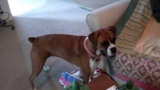 Insane Female Boxer Dog