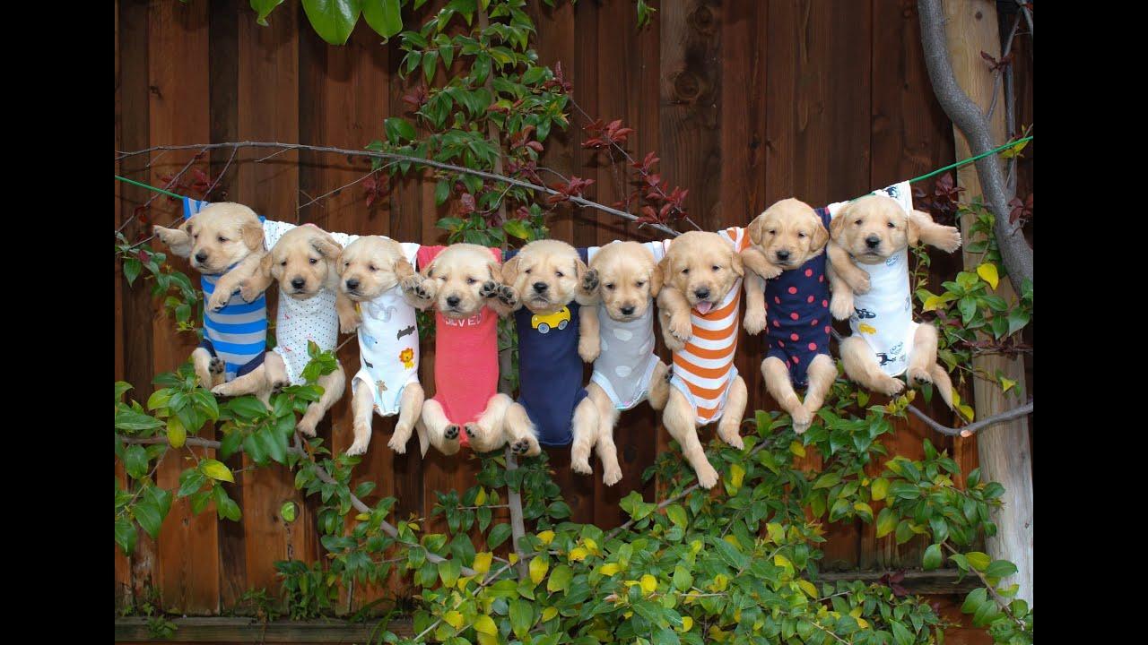 Pitbulls Fall Wallpaper Most Adorable Golden Retriever Puppies Music Oceans Of