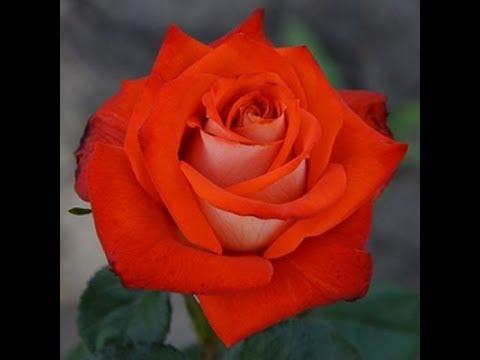 Cаженцы 2019 весна, опрыскиватель, заказы на весну питомник роз Полины Козловой, rozarium.biz