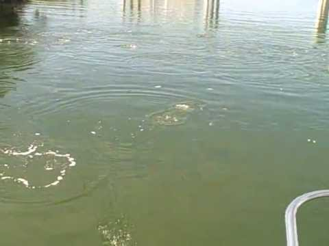 Fish jumping jewfish creek key largo florida youtube for Fish creek florida